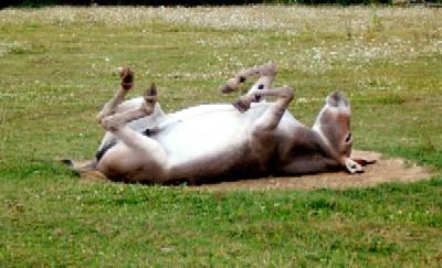 La siesta del burro.